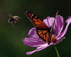 Common Eastern Bumblebee and Monarch
