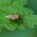 Birch Shieldbug --- Elasmostethus interstinctus