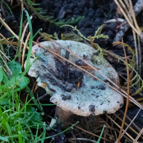 Autumn fungi: false saffron milk cap