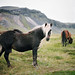 horses of iceland,  part five by manyfires
