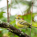 White-Eyed Vireo by Roger Hickey