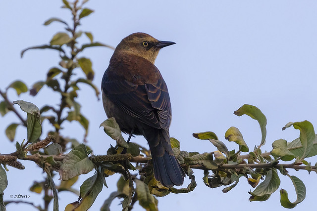 Rusty Blackbird / Quiscale rouilleux
