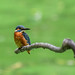 Kingfisher 180924147.jpg