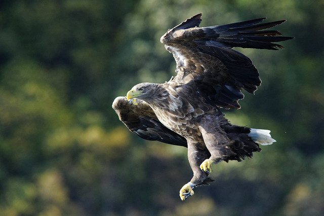 White tailed Eagle 2