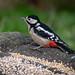 Great Spotted Woodpecker - female