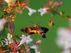 Photo:Hummingbird hawk moth (Macroglossum stellatarum, ホウジャク) By Greg Peterson in Japan