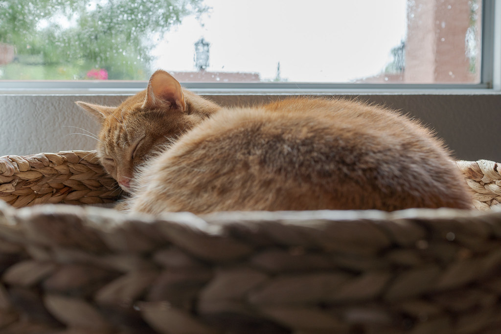 Our cat Sam sleeps curled up in a cat bed as it rains outside our home in Scottsdale, Arizona