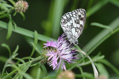 Marbled White (Galathea), Enriez - Photo of Annot