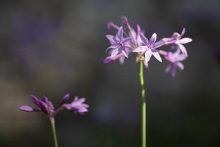 Society Garlic. (Tulbaghia violacea)
