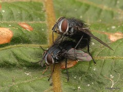 Tachinid Flies mating