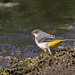 Grey Wagtail by Karen Roe