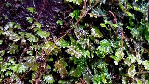 Filmy Fern - Hymenophyllum cupressiforme