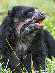 Spectacled bear with carrot in the mouth