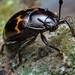 20180803 Macro RR Handsome Fungus Beetle _8030026