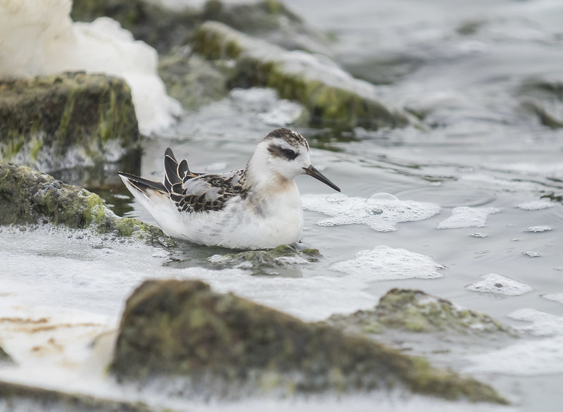 Grey Phalarope, Brogborough Lake, 22nd September 2018