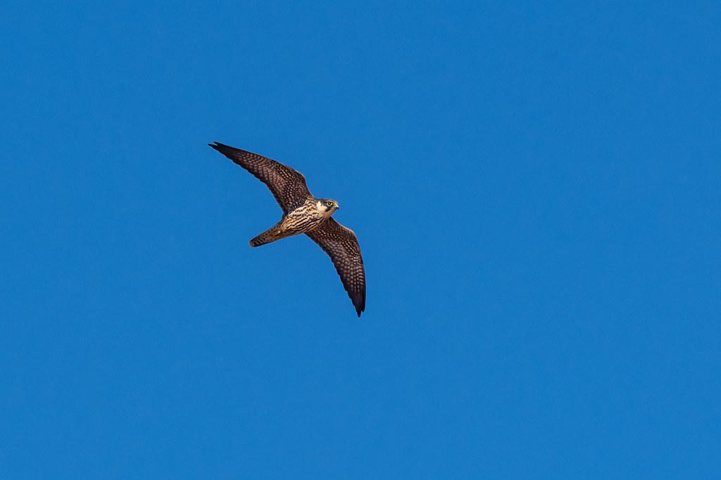 Eurasian Hobby - Ógea - Falco subbuteo