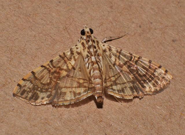 Crazy lined Moth Glyphodes sp Spilomelinae Crambidae Pyraloidea Airlie Beach rainforest P1430456
