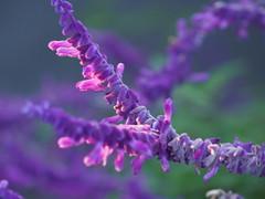 Mexican bush sage (Salvia leucantha, アメジストセージ)