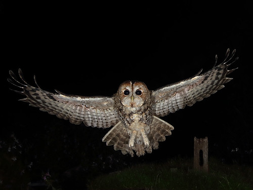 Tawny Owl in flight.