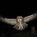 Tawny Owl in flight.