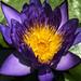 Lotus in my Condo