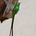 Added: Green-tailed Trainbearer - [ Hummingbird Observatory, Bogota, Colombia ] by tinyfishy's World Birds-In-Flight