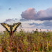 Schwalbenschwanz / Swallowtail Butterfly by MC-80