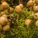 Middlebrook Mushrooms