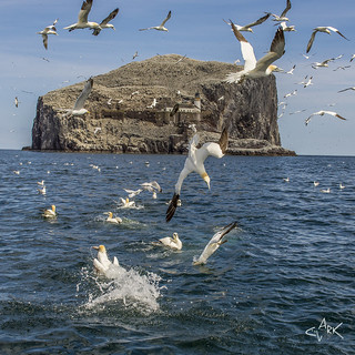 Gannets Diving at the Bass Rock