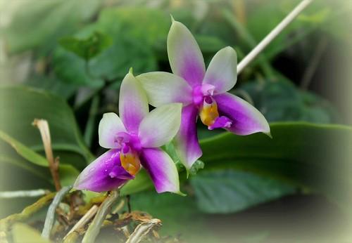 orchidées - floraisons du moment 2018 - Page 4 43573507970_3a386fcedd