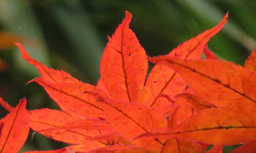 Maple leaves turning red in October in Vancouver