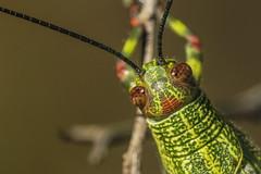 Orthoptera