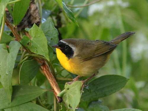 Common Yellowthroat 01-20181005