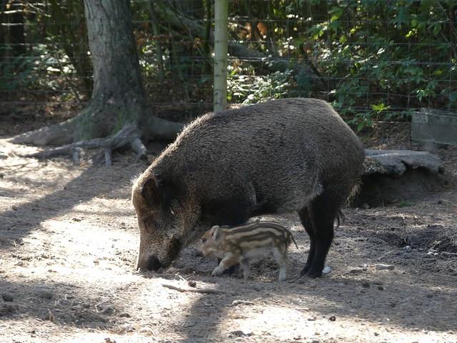 Wildschwein, Skandinavisk Dyrepark