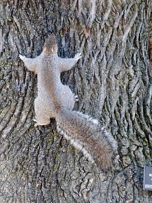 Central Park Squirrel 2 (New York)
