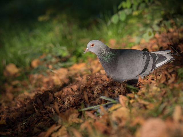 Pigeon des Buttes sur, Panasonic DMC-GX8, Lumix G Vario 100-300mm F4.0-5.6 Mega OIS