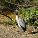 <p><a href=&quot;http://www.flickr.com/people/davea2007/&quot;>Dave_A_2007</a> posted a photo:</p>&#xA;&#xA;<p><a href=&quot;http://www.flickr.com/photos/davea2007/44484223665/&quot; title=&quot;Young heron, Bylet, Bridgnorth&quot;><img src=&quot;http://farm2.staticflickr.com/1941/44484223665_e17c55e5cb_m.jpg&quot; width=&quot;240&quot; height=&quot;240&quot; alt=&quot;Young heron, Bylet, Bridgnorth&quot; /></a></p>&#xA;&#xA;