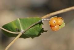 Evergreen Honeysuckle (Lonicera implexa) fruits ...