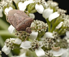 Brown Stink Bug on Frost Weed Flower