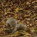 Squirrel Autumn