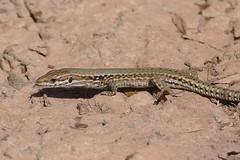 Common Wall Lizard (Podarcis muralis) female - Photo of Clermont-l'Hérault