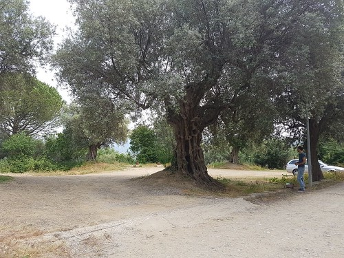 ulivo monumentare agropoli b