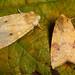 Sallow (Xanthia icteritia & Ab. flavescens).
