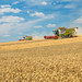 Downhill Wheat Harvest | CLAAS