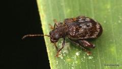 Flea beetle, Hypolampsis sp.? Chrysomelidae: Alticini: Monoplatina