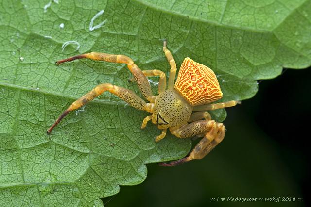Crab spider (Cyriogonus sp.)