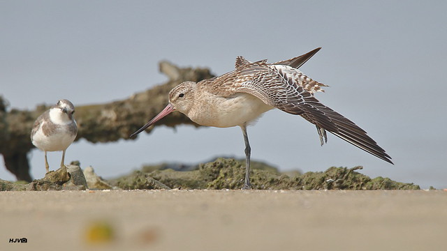 Bar-tailed Godwit (with Lesser Sand Plover)