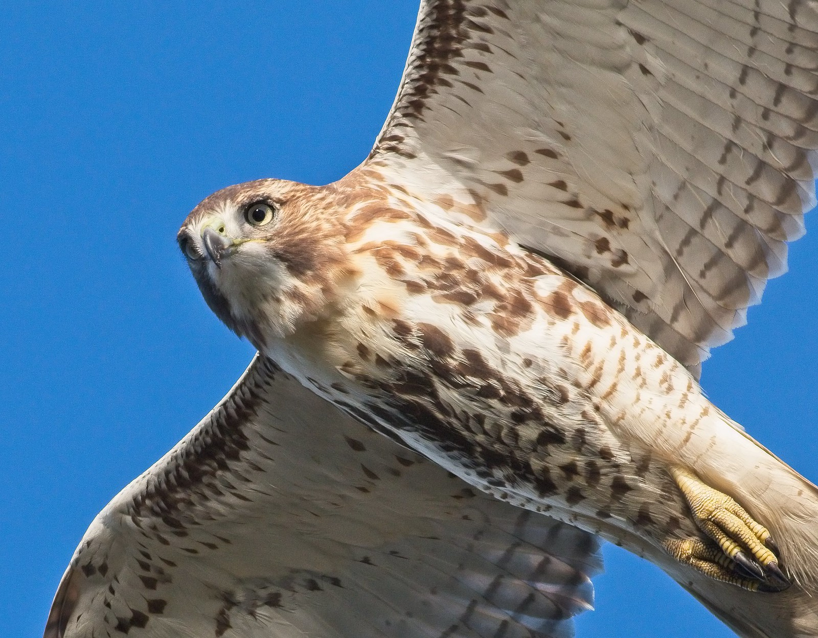 Red-tail close up