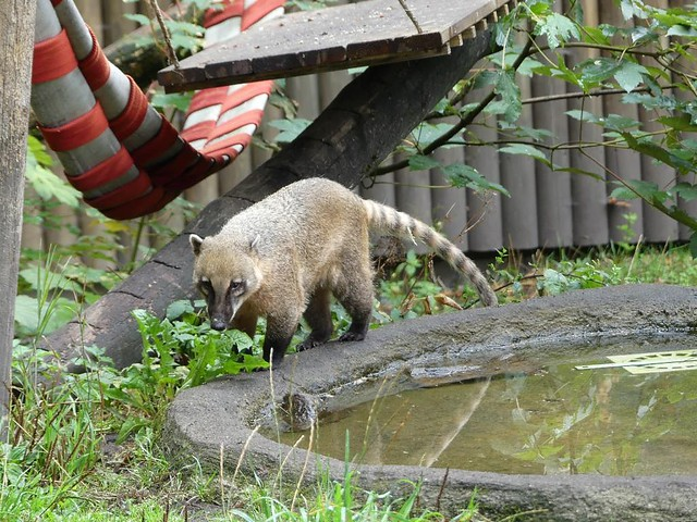 Nasenbär, Tierpark Neumünster