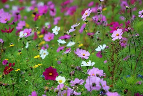 Cosmos flower meadow